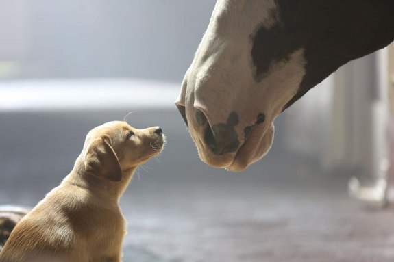 "Anheuser-Busch will feature 3.5 minutes of advertising for iconic beer brands Bud Light and Budweiser during Super Bowl XLVIIII, including a spot from Budweiser titled ""Puppy Love"" that continues the story of 2013's celebrated ""Brotherhood"" spot with the introduction of a new, young star -- a 10-week-old puppy that forges a bond with the Budweiser Clydesdales. (PRNewsFoto/Anheuser-Busch)"